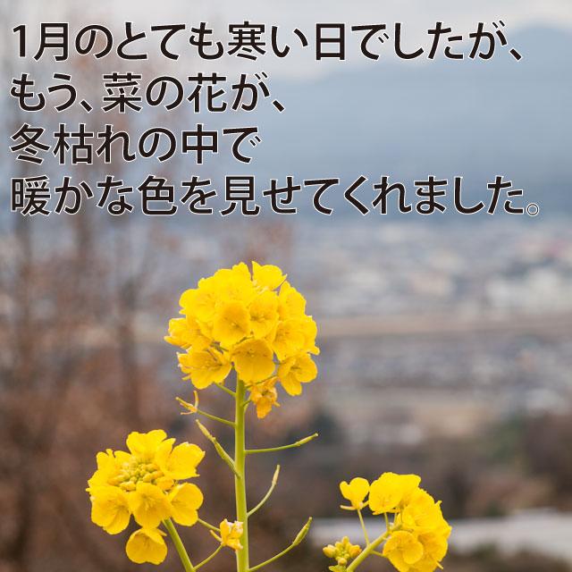 ウッドデッキ菜の花